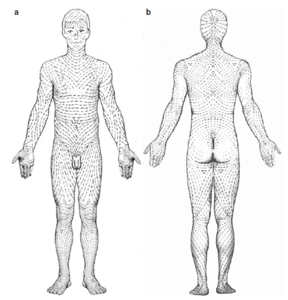 Fig. 2.14 Đường căng da thư giãn, (a)Mặt trước, (b) Mặt sau