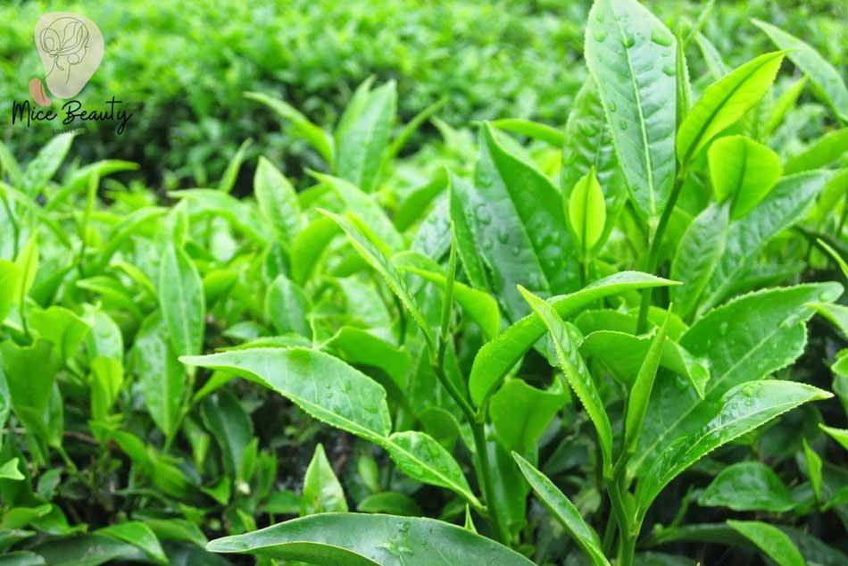 Sử dụng lá trà tươi làm bột trà xanh trị mụn